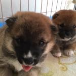 柴犬『テン』Baby