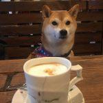 柴犬『テン』誕生日のお祝い🍰